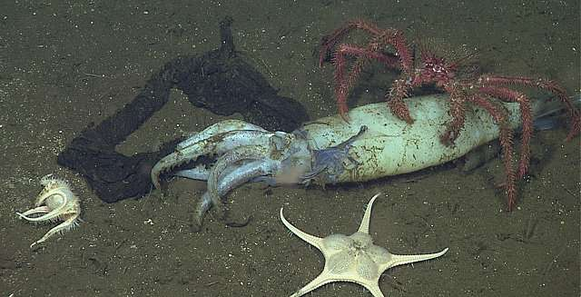 A squid graveyard and a deep-sea buffet