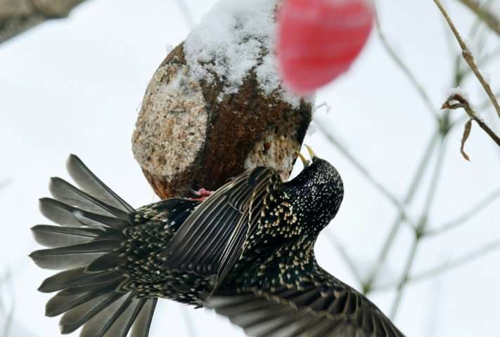 A starling finds grains in a garden—but many once common birds are an ever rarer sight, with a study showing some species' numbe