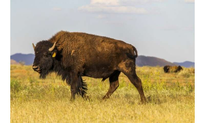 At El Uno ranch in Chihuahua state, Mexico, American bison, also known as buffalo, live in semi-capitivity with the goal of main