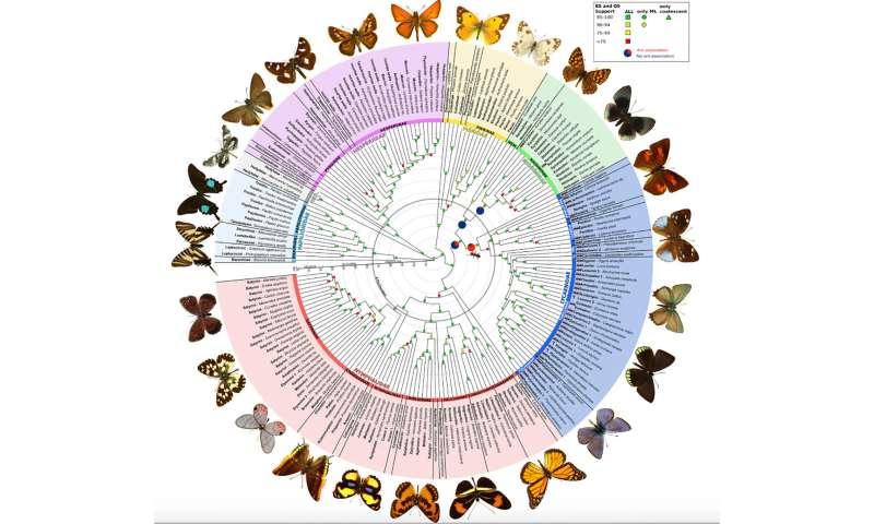 At last, butterflies get a bigger, better evolutionary tree