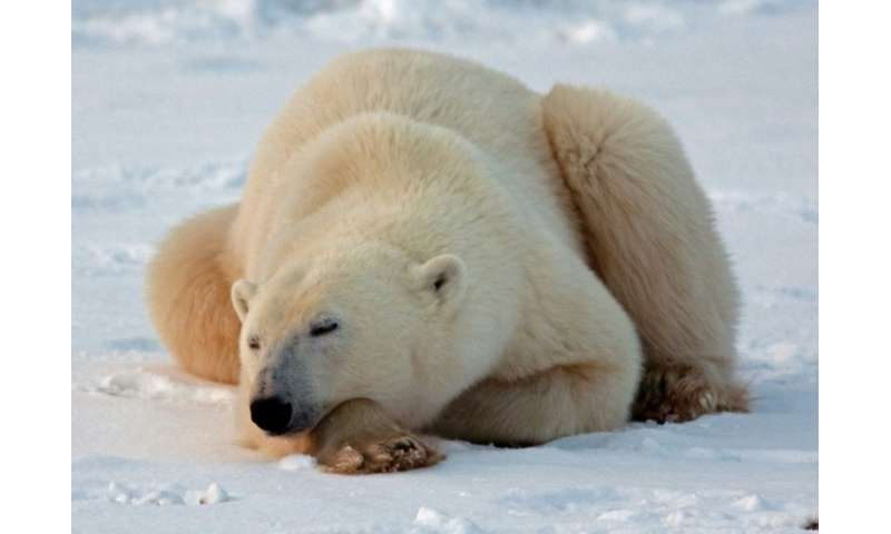 At last count in 2011, there were 15,500 polar bears in Canada