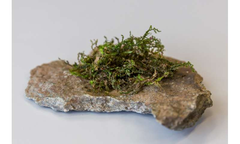 A type of moss could prove to be more medically effective than hemp