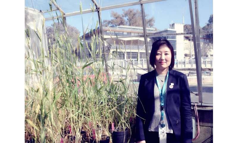 Australian, UK scientists solve 30-year wheat rust genetics puzzle
