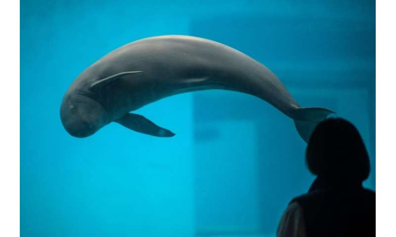 A Yangtze finless porpoise in a pool at the Baiji dolphinarium in Wuhan