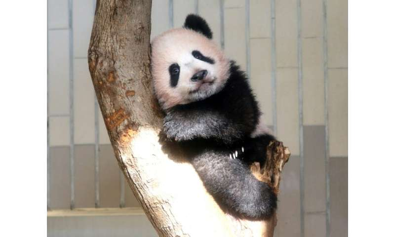 Baby panda Xiang Xiang will be working nearly nine to five as Tokyo's Ueno zoo extends viewing hours for the cuddly creature