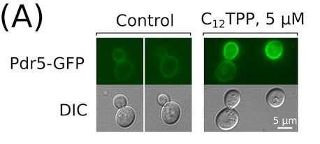 Baker's yeast helped MSU-based biologists to understand drug resistance in fungi