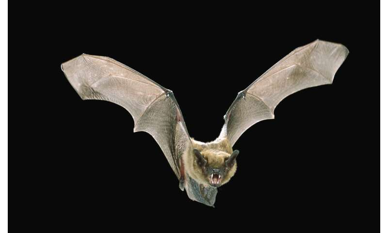 'Bat detectives' train new algorithms to discern bat calls in noisy recordings