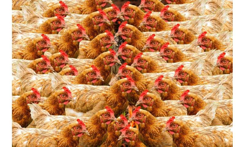 Researchers suggest broiler chicken is the hallmark of the