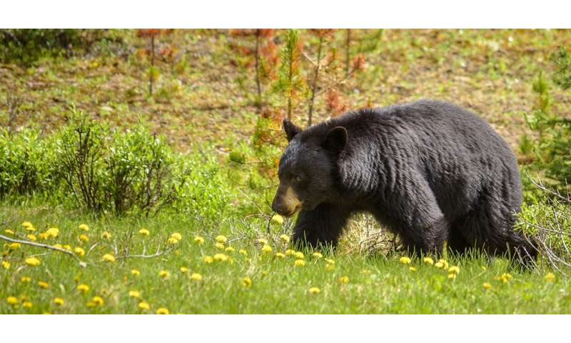 Bears avoid trails with motorized recreational activity, study confirms