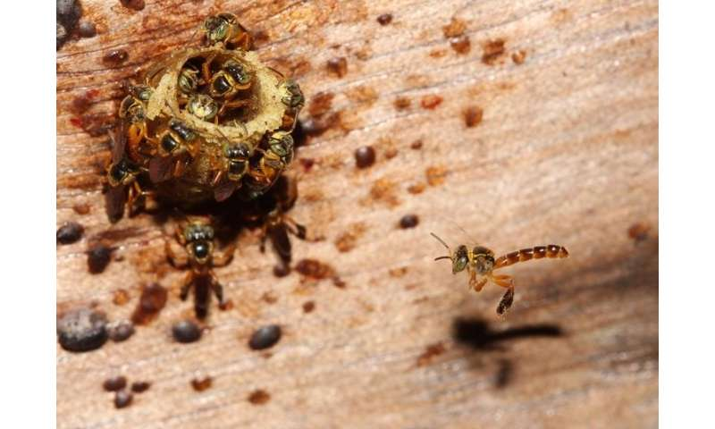 Bees coordinate strategy for defending colony, study reveals