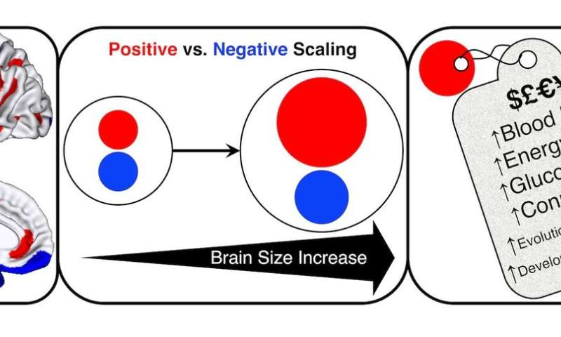 Bigger human brain prioritizes thinking hub -- at a cost