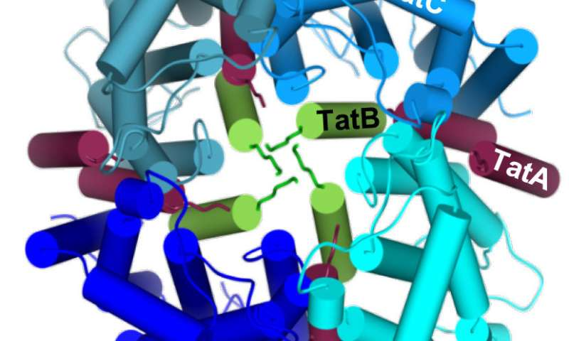Biochemists investigate the transport of large proteins through bacterial cell membranes