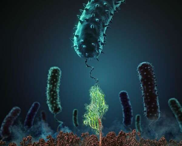 Biophysics: Bacterial adhesion in vitro and in silico