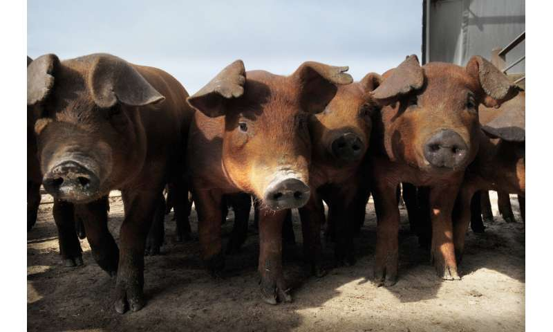 Biosecurity Research Institute studies African swine fever to prevent US outbreak