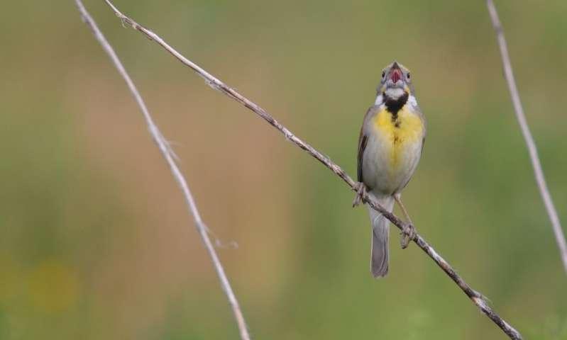 Birds' voiceboxes are odd ducks