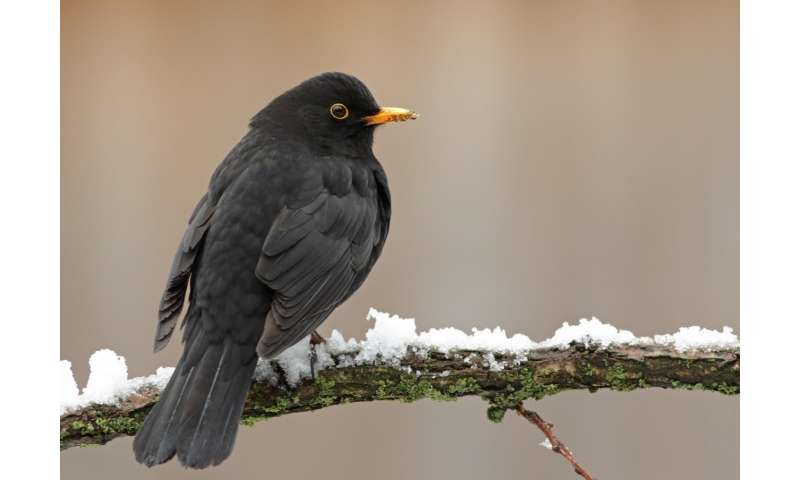Blackbirds in the city: Bad health, longer life