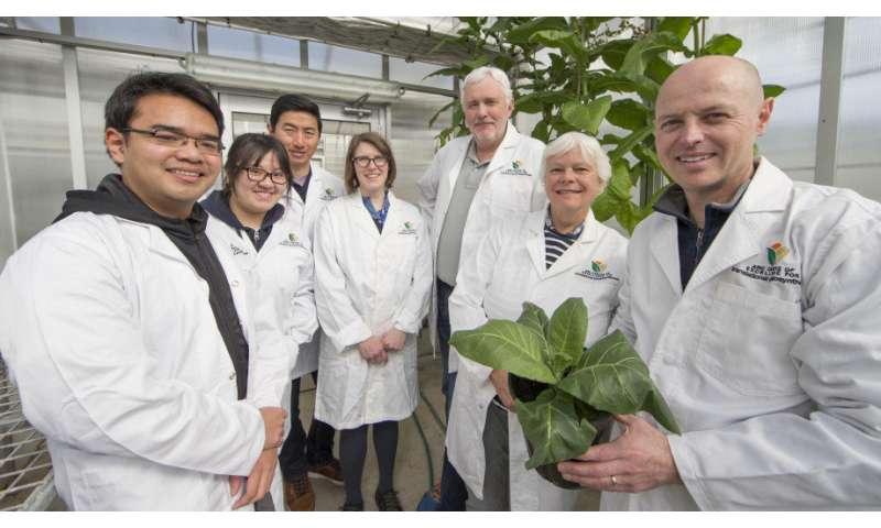 Blue-green algae promises to boost food crop yields