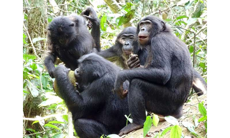 Bonobos share and share alike
