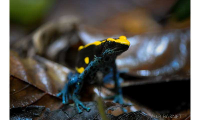 Bright warning colors on poison dart frogs also act as camouflage