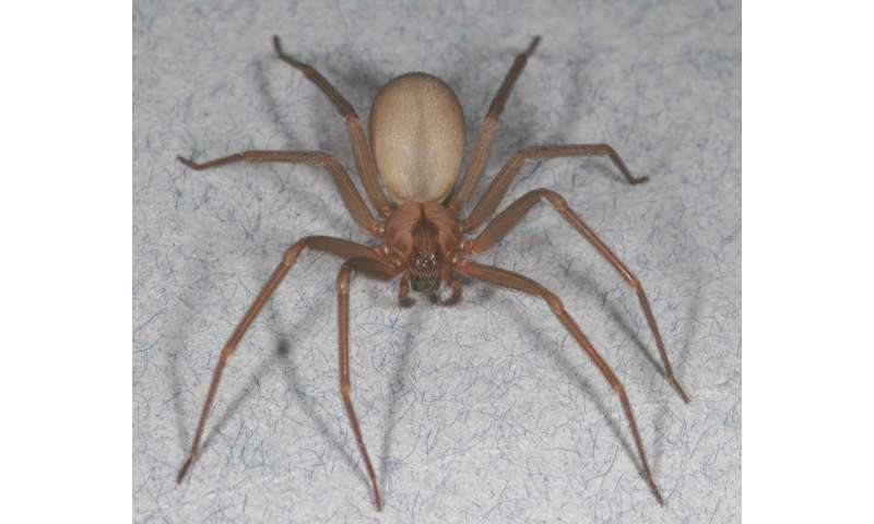 Brown recluse: Pest management tips for the spider that's not as common as you think