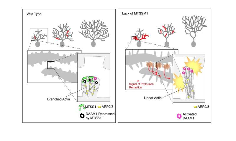 Building trees: The protein controlling neuron branch growth