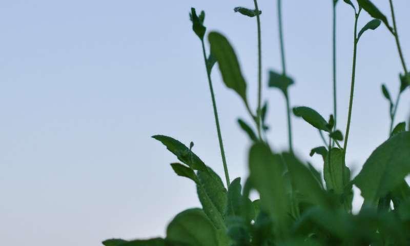 Burst of morning gene activity tells plants when to flower