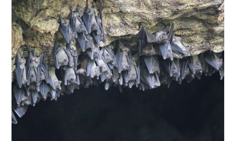 BU study: Egyptian fruit bat genome yields clues to protection