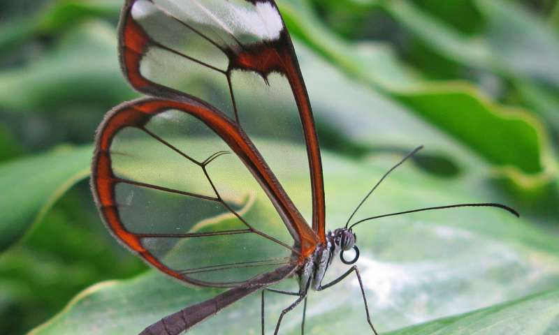 Butterfly wings inspire light-manipulating surface for medical implants