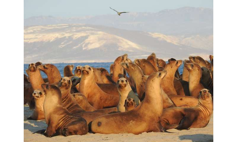 California sea lion population rebounded to new highs