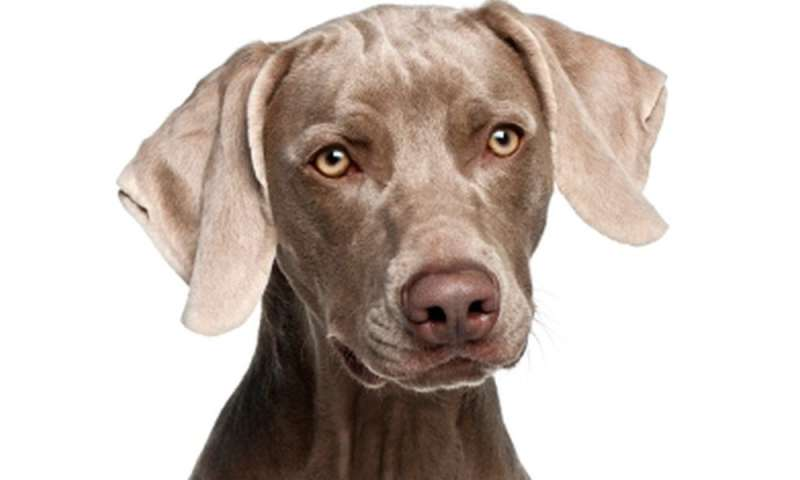 Can arthritic dogs (and their owners) benefit from stem cell injections?