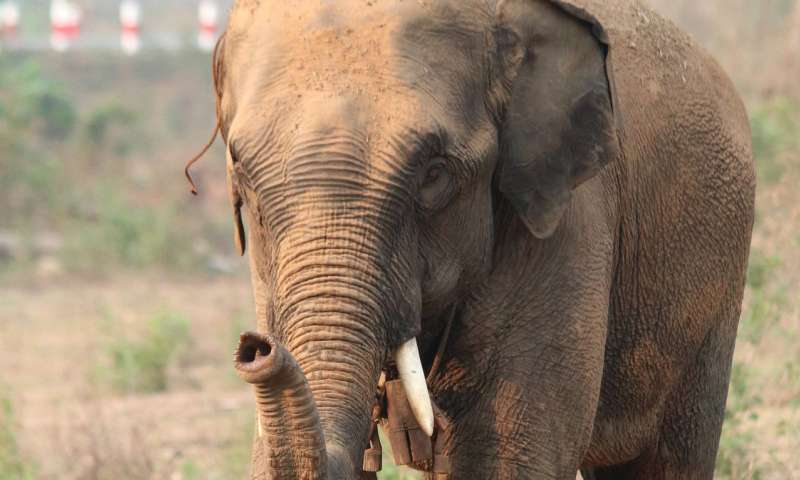 Capturing elephants from the wild shortens their lives