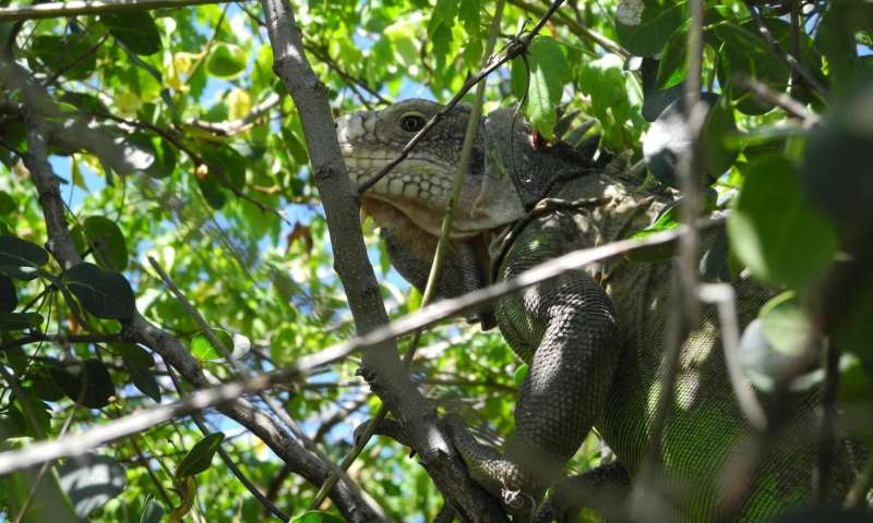 Caribbean collaboration offers hope for a vanishing island iguana