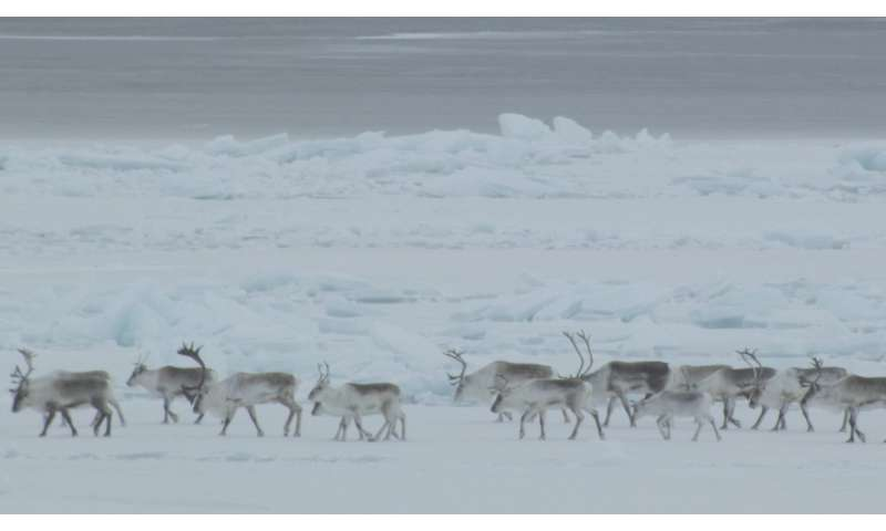 Caribou drone study finds 'enormous variation' within herd
