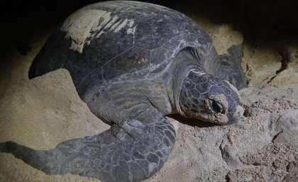 Carnivore snacks debunk theory of turtles' strict herbivore diet