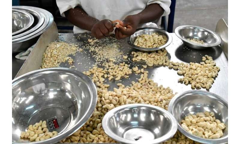 Cashew nuts are peeled by hand at a factory in Bouake, then batched for export around the world