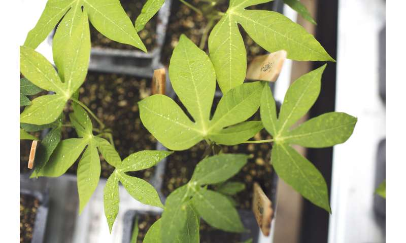 Cassava breeding hasn't improved photosynthesis or yield potential