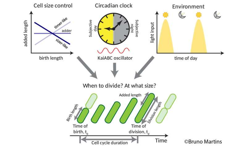 Cells decide when to divide based on their internal clocks