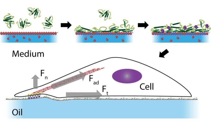 Cells 'walk' on liquids a bit like geckos
