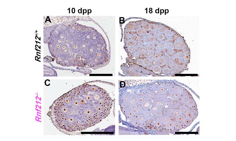 'Cellular memory' of DNA damage in oocyte quality control