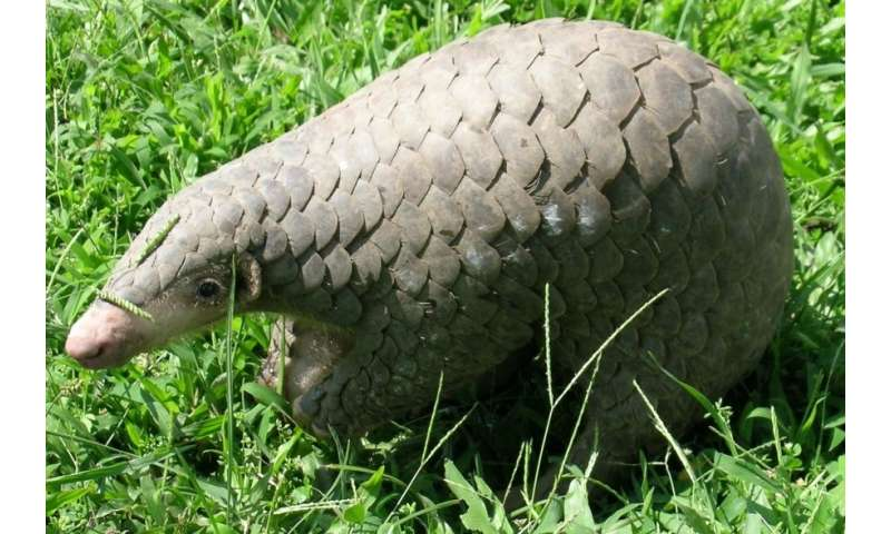 Uncovering how endangered pangolins, or 'scaly anteaters,' digest food