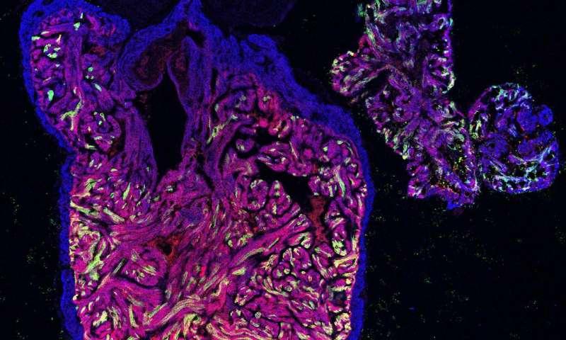 CNIC scientists describe the mechanism of heart regeneration in the zebrafish