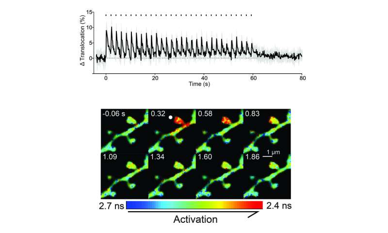Convergence of synaptic signals is mediated by a protein critical for learning and memory