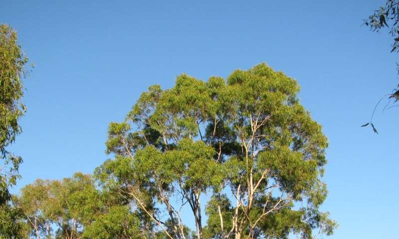 Corymbia Genome Expands Terpene Synthesis Knowledge