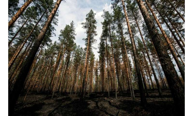 """Critics say that the forest industy in Sweden has laid out a """"red carpet"""" for wildfires by planting pine trees closely"""