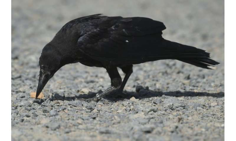 Crow that in the bin: a specially trained rook picks up rubbish at a French theme park