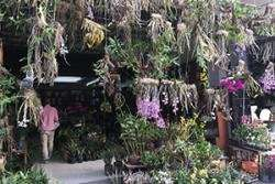 Cultivating Chinese orchids could conserve wild species