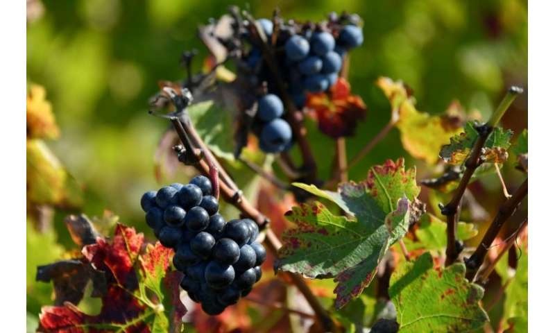 Currently, grape growers faced with an infestation have no choice but to spray their vines with chemicals