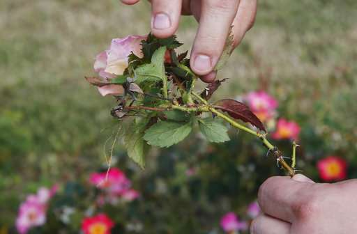 Deadly plant disease threatens $250M rose business