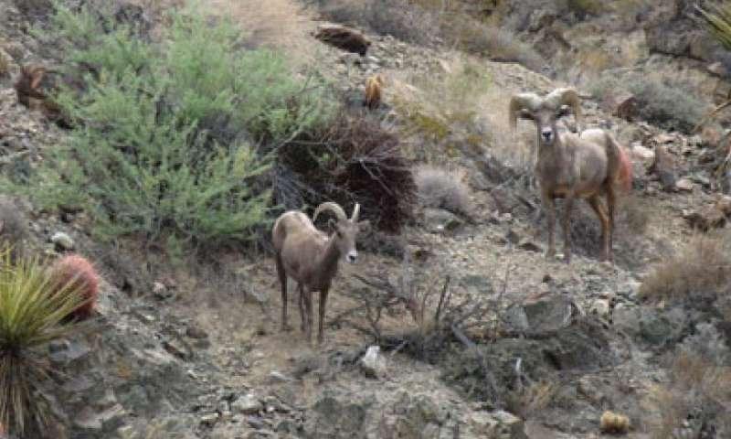 Desert bighorn sheep are crossing Interstate 40 in California