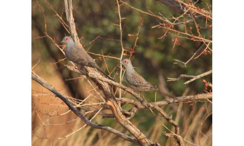 Diamond doves do not optimize their movements for flexible perches